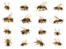Group of Bee isolated on white background. Macro shots of Bee isolated on white background with stacked focus royalty free stock images