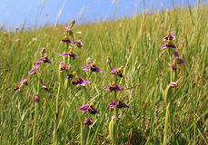 Group of bee orchids ophrys apifera, wildflowers in the meadow Stock Photos
