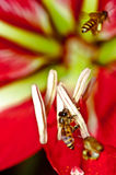 Group of bees. Looking for the nectar, 2 of them are flying on the red flower Stock Image