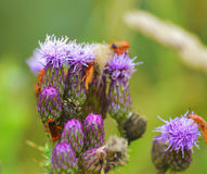 Group of beetles on a thistle Stock Images