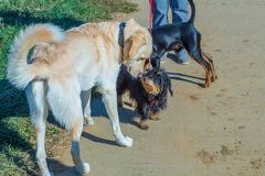 Group behaviour of dogs. On a walk stock photo