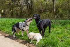 Group behaviour of dogs in a pack. Outdoors royalty free stock images