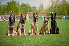 Group of Belgian Shepherd dogs Stock Photography