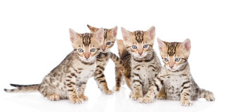 Group bengal kittens looking at camera. isolated on white Stock Photography