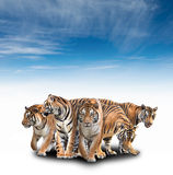 Group of bengal tiger Royalty Free Stock Image