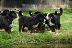 Group of Bernese Mountain Dog puppies Stock Image