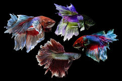 Group of Betta on black  background :  Clipping path included Stock Photos