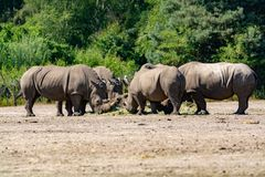 Group of big adult African black rhinoceros eating grass in safari park stock image