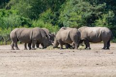 Group of big adult African black rhinoceros eating grass in safari park royalty free stock images