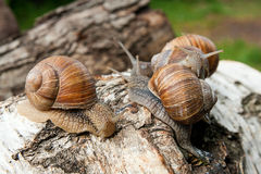 Group of big Burgundy snails Helix, Roman snail, edible snail, Royalty Free Stock Photo
