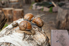Group of big Burgundy snails Helix, Roman snail, edible snail, Royalty Free Stock Image
