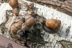 Group of big Burgundy snails Helix, Roman snail, edible snail,. Roman Snail - Helix pomatia. Helix pomatia, common names the Roman, Burgundy, Edible snail or Royalty Free Stock Photo