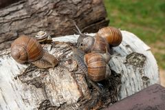 Group of big Burgundy snails Helix, Roman snail, edible snail,. Roman Snail - Helix pomatia. Helix pomatia, common names the Roman, Burgundy, Edible snail or Stock Images