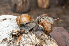 Group of big Burgundy snails Helix, Roman snail, edible snail,. Roman Snail - Helix pomatia. Helix pomatia, common names the Roman, Burgundy, Edible snail or Royalty Free Stock Photography