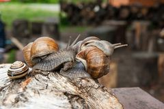 Group of big Burgundy snails Helix, Roman snail, edible snail,. Roman Snail - Helix pomatia. Helix pomatia, common names the Roman, Burgundy, Edible snail or Stock Image