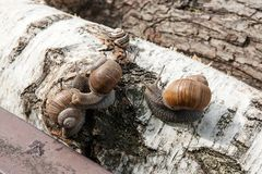 Group of big Burgundy snails Helix, Roman snail, edible snail,. Roman Snail - Helix pomatia. Helix pomatia, common names the Roman, Burgundy, Edible snail or Royalty Free Stock Image