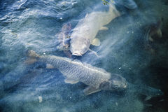 Group of big carps floats in blue water Royalty Free Stock Image