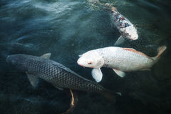Group of big carps floats in blue water, stylized photo Royalty Free Stock Photography