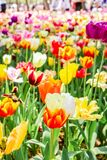 Group of big colorful tulips in hitachi seaside park. Japan royalty free stock images