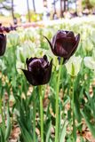 Group of big dark violet andwhite tulips in hitachi seaside par. K royalty free stock photography