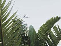 Group of big green banana leaves of exotic palm tree in sunshine on white background royalty free stock photography