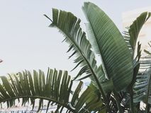 Group of big green banana leaves of exotic palm tree in sunshine on white background. stock image