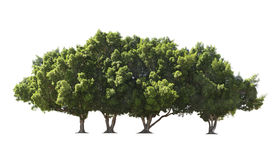 Group of  big green trees Royalty Free Stock Images