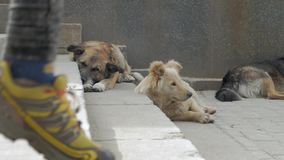 Non breed dogs on the streets. Group of big homeless dogs sleeps on the concrete stairs stock video footage