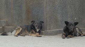 Non breed dogs on the streets. Group of big homeless dogs sleeps on the concrete stairs stock footage