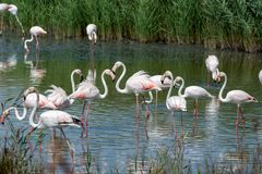 Group of big pink flamingo birds in national park Camargue, Fran. Group of big pink flamingo birds in lake water in national park Camargue, France Royalty Free Stock Photos