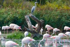 Group of big pink flamingo birds in national park Camargue, Fran stock image