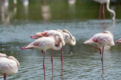 Group of big pink flamingo birds in national park Camargue, Fran. Group of big pink flamingo birds in lake water in national park Camargue, France Royalty Free Stock Image