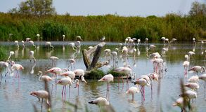 Group of big pink flamingo birds in national park Camargue, Fran. Group of big pink flamingo birds in lake water in national park Camargue, France Stock Photography