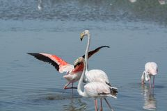Group of big pink flamingo birds in national park Camargue, Fran. Group of big pink flamingo birds in lake water in national park Camargue, France Stock Image