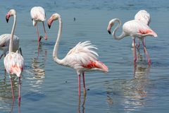 Group of big pink flamingo birds in national park Camargue, Fran. Group of big pink flamingo birds in lake water in national park Camargue, France Stock Images