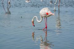 Group of big pink flamingo birds in national park Camargue, Fran. Group of big pink flamingo birds in lake water in national park Camargue, France Royalty Free Stock Photography