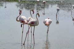 Group of big pink flamingo birds in national park Camargue, Fran. Group of big pink flamingo birds in lake water in national park Camargue, France Stock Photo