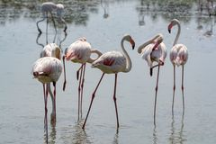 Group of big pink flamingo birds in national park Camargue, Fran. Group of big pink flamingo birds in lake water in national park Camargue, France Royalty Free Stock Images