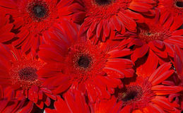 Group of big red gerberas. Backgrond Royalty Free Stock Photography