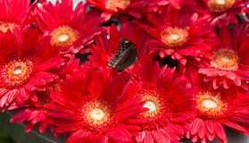 Group of big red gerberas with butterfly Royalty Free Stock Photography