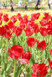 Group of big red tulips in hitachi seaside park. Groups of big red tulips in hitachi seaside park royalty free stock image