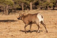 Bighorn Sheep Ram in Rut Royalty Free Stock Photography
