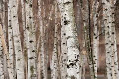 A group of birch trees with white bark growing in an urban area Stock Image