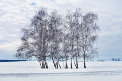 Group of birch trees in the winter Royalty Free Stock Photography