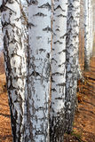Group of birch woods Stock Photography