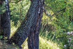 A group of birches stock photos