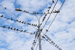 Group of bird. Pigeons on electric concrete pole. Group of bird resting on cable wires with blue sky background royalty free stock image