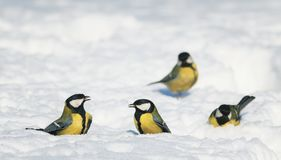 A group of birds bright Tits on white shimmering snow in the Par royalty free stock image