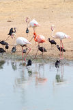 Flamingos and Ibises. Group of birds (Flamingo and Glossy Ibis) on the coast Royalty Free Stock Image