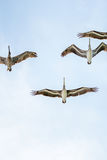 Group of birds flying above head. Light blue sky in a clear day weather lets to see and observe animals in the sky Stock Photo